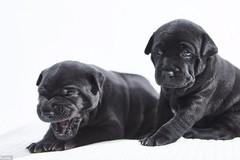 Chó Phú Quốc 340 triệu đồng mỗi con có gì đặc biệt?