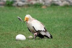 Chó rừng bất lực để kền kền xơi tái trứng đà điểu