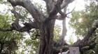 Cận cảnh 5 cây cổ thụ khủng ở An Giang