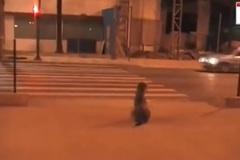 Kinh ngạc hình ảnh chú chó đợi đèn xanh sang đường
