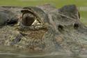 Cá sấu 'khủng' tê dại vì chạm trán lươn điện
