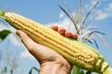 Mỹ có thể giới hạn diện tích trồng ngô biến đổi gen