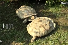 Clip tình bạn của rùa khiến người xem thích thú