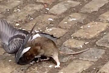 Xem chuột nhắt xơi tái cả chim bồ câu