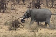 Kinh hoàng cảnh voi húc trâu rừng bầm dập đến chết