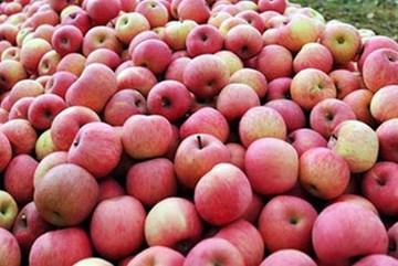 Kiểm soát chặt táo đỏ Phú Sỹ tại Việt Nam