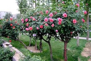 Chiều lòng sếp bà, tặng cây hồng 100 bông 50 triệu đồng