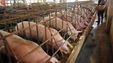 Lợn có chất cấm ngập chợ Hà Nội