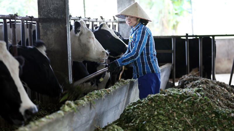 Cử nhân, chăn nuôi, bò sữa, nghề nông, nông dân, tỷ phú, trang trại, đại học, cao đẳng, Mộc-Châu, bò-sữa, chăn-nuôi, đại-học, làm-nông, vắt-sữa, hoa-hậu-bò-sữa
