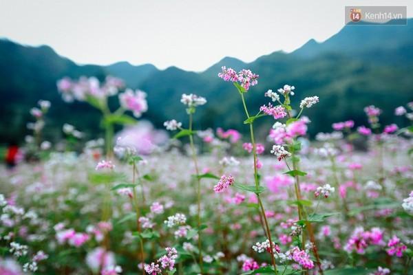 Chùm ảnh: Không đâu có thể thấy hoa tam giác mạch đẹp như xứ Hà Giang