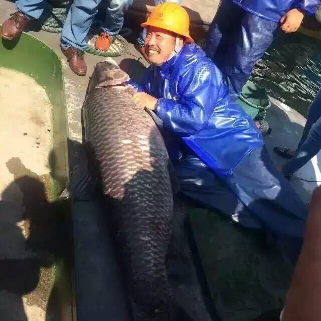 Bắt được cá chép khổng lồ nặng 90kg