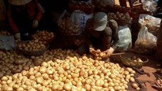 Đà Lạt cấm nhập khoai tây Trung Quốc
