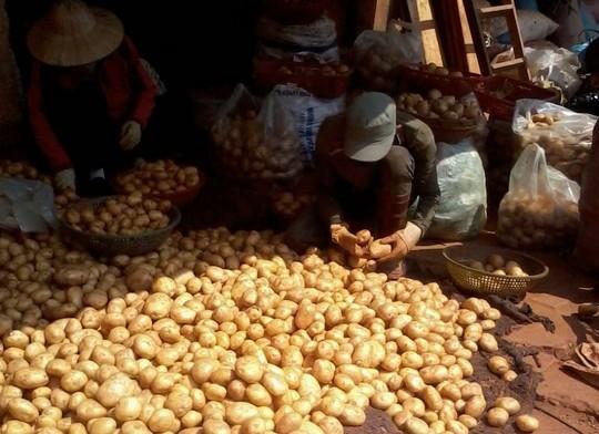 Đà Lạt, nhập lậu, khoai tây, Trung Quốc, thương lái, đội lốt,  Đà-Lạt, nhập-lậu, khoai-tây, Trung-Quốc, thương-lái, đội-lốt,
