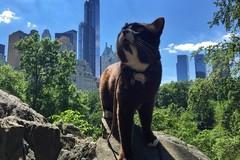 Chú mèo đen béo ú chu du khắp nước Mỹ