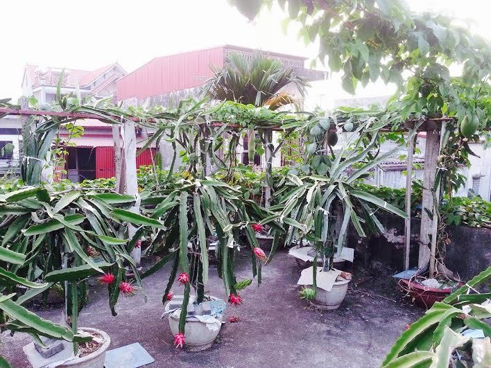 Độc nhất Bắc Bộ: Vườn thanh long trăm gốc trên mái nhà