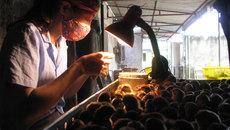 Nghề kỳ lạ: Soi lỗ huyệt gà con thu 1,3 tỷ/năm