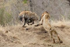 Sư tử đực dũng mãnh xé toang vòng vây linh cẩu