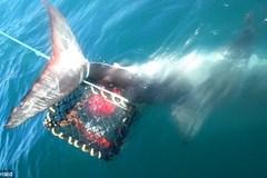 """Ngư dân câu tôm hùm được """"khuyến mại"""" thêm cá mập trắng"""