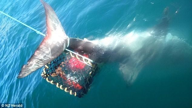 Ngư dân câu tôm hùm được 'khuyến mại' thêm cá mập trắng