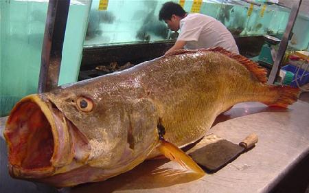 Nông dân Thái Bình bán hớ con cá 1,5 tỷ đồng