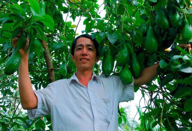 ĐBSCL, bơ sáp, bơ giống, Campuchia, tỷ phú, bơ-sáp, cây-bơ-sáp, bơ-giống, Đông-Nam-Bộ, Tây-Nguyên, Tây-Nam-Bộ