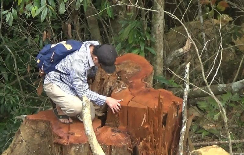 xẻ rừng, tận thu gỗ quý
