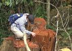 Xẻ rừng biên giới tận thu gỗ quý: Đúng quy trình?