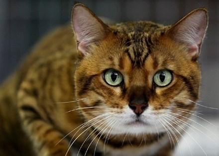nuôi mèo, nguy hiểm, tính mang, động vật hoang dã
