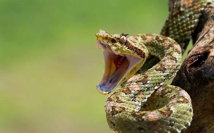 Cậu bé 17 tháng tuổi cắn chết rắn hổ mang kịch độc