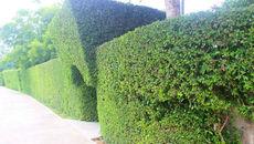 Hà Tĩnh: Ngắm hàng rào 'độc lạ' bằng cây hơn trăm tuổi