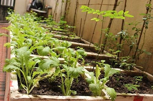 Vườn rau mini khắp ngõ phố Hà Nội