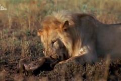 Linh cẩu thất thần nhìn sư tử cắn chết con