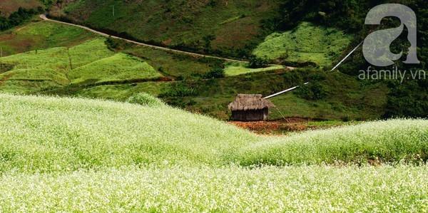 Mộc Châu, hoa cải trắng, Sơn La, Bản Lùn