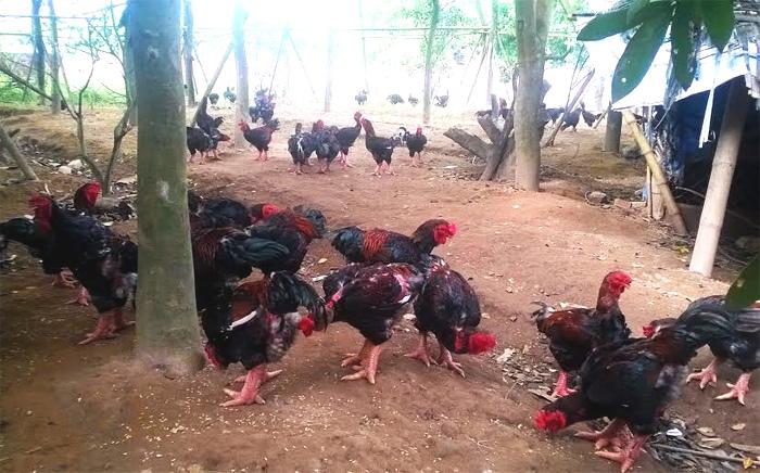 Cứu nguy đàn gà quý thuần cổ của Việt Nam