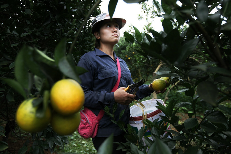 Cam Cao Phong, tỷ phú, nông dân, đặc sản vùng cao, thu hoạch, được mùa, cam-cao-phong, hòa-bình, nông-dân, tỷ-phú, thu-hoạch, được-mùa