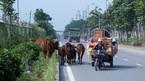 Bi hài trâu bò lên đại lộ ngàn tỷ 'tập thể dục'