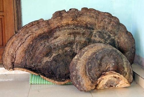 Nghệ An: Xôn xao nấm linh chi nghìn tuổi vừa phát lộ