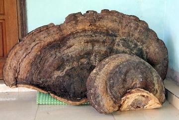 Xôn xao Nghệ An: Phát hiện khối nấm linh chi ngàn tuổi