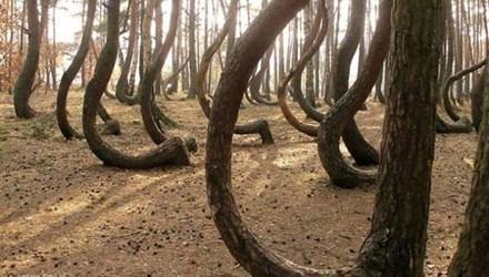 Bí ẩn về rừng thông trăm tuổi bị uốn cong tại Ba Lan