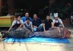 Bắt được cặp cá hô 'khủng' nặng 240 kg