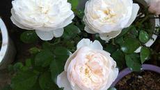 Lạc giữa vườn hồng của cô giáo tiểu học