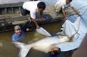 """Bắt được cá da trơn """"khổng lồ"""" trên sông Mekong"""