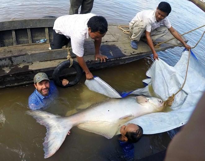 Bắt được cá da trơn 'khổng lồ' trên sông Mekong