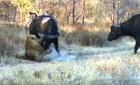 Sư tử suýt trả giá vì cầu cứu đàn trâu rừng