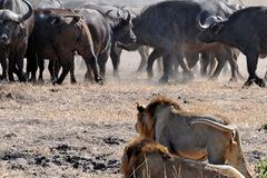 3 sư tử đối đầu 300 trâu rừng: Uy lực của chúa sơn lâm