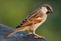 Chim sẻ bổ dương
