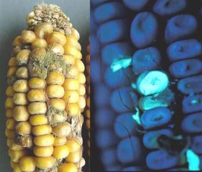 ung thư, gạo mốc, thực phẩm bẩn, thức ăn, hóa chất, ung-thư, gạo-mốc, thực-phẩm-bẩn, thức-ăn, hóa-chất,