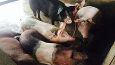 Lợn giun quế: Bí mật của độc ăn một lần là mê