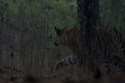 Chúa sơn lâm hạ gục hươu rừng trong bão