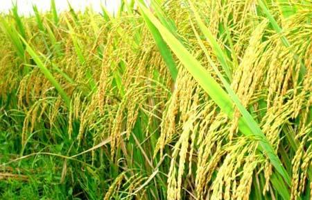 Rau sạch, thịt sạch: Đường đi từ ruộng tới bàn ăn
